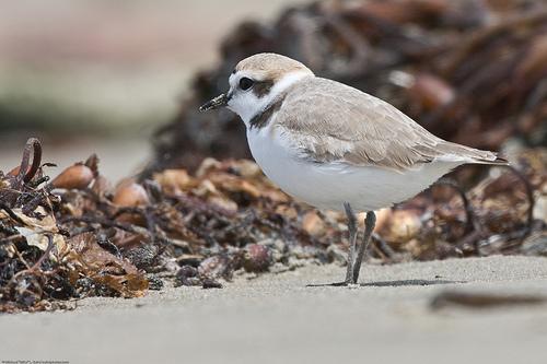 フリー画像| 動物写真| 鳥類| 野鳥| 白千鳥/シロチドリ|