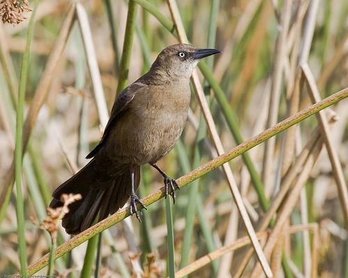フリー画像| 動物写真| 鳥類| 野鳥| オナガクロムクドリモドキ|