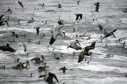 フリー画像| 動物写真| 鳥類| 野鳥| ペリカン| 大群/群集| 海の風景|
