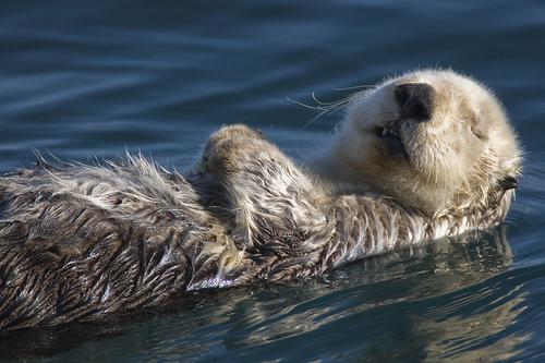 フリー画像| 動物写真| 哺乳類| ラッコ|