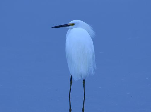 フリー画像| 動物写真| 鳥類| 野鳥| 鷺/サギ| 青色/ブルー|