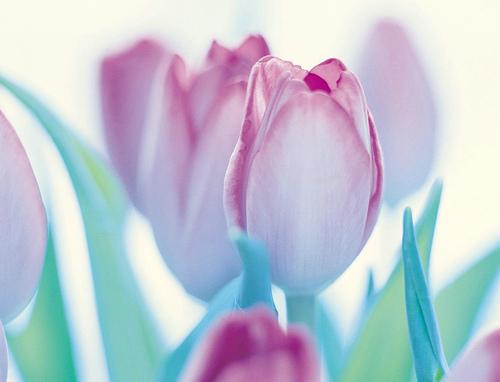 フリー画像| 花/フラワー| チューリップ| 桃色/ピンク| ピンク/花|