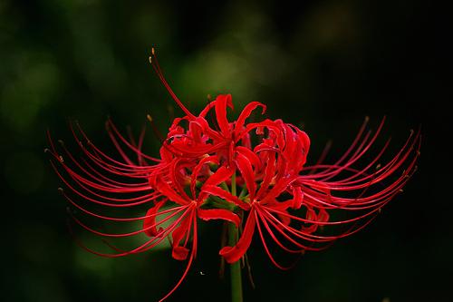 フリー画像| 花/フラワー| 彼岸花| レッド/花|