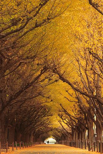 フリー画像| 人工風景| 道の風景| 並木道| 紅葉の風景| 銀杏/イチョウ| 黄色/イエロー| 日本風景|