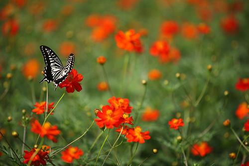 フリー画像| 節足動物| 昆虫| 蝶/チョウ| アゲハ蝶/アゲハチョウ| 花/フラワー|