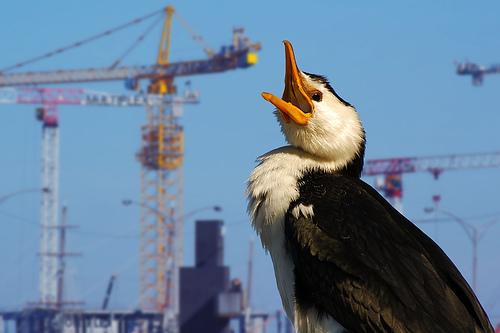 フリー画像| 動物写真| 鳥類| 野鳥| ナンヨウヒメウ| 叫ぶ|