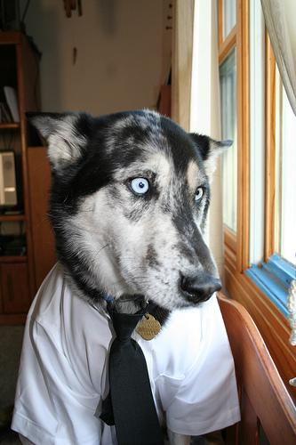 フリー画像| 動物写真| 哺乳類| イヌ科| 犬/イヌ| シベリアン・ハスキー|