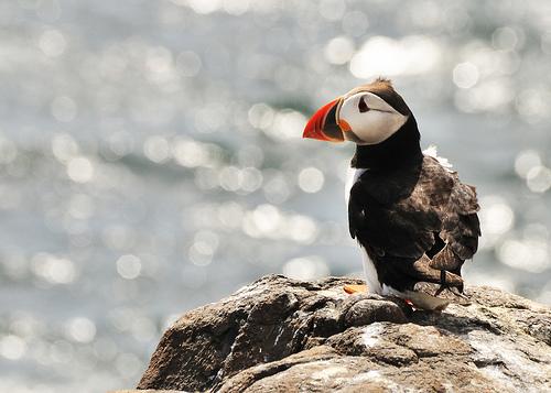 フリー画像| 動物写真| 鳥類| 野鳥| ツノメドリ|