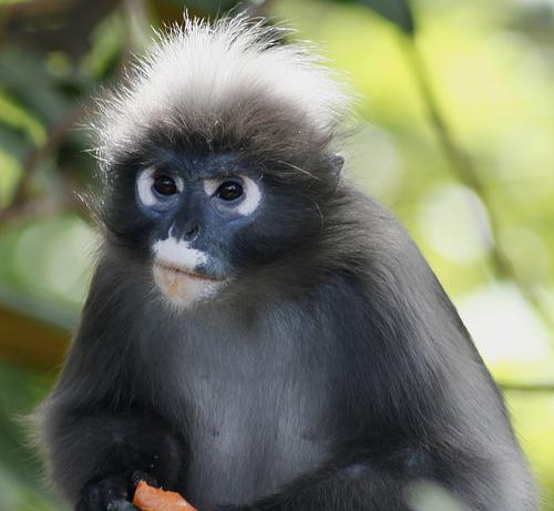 フリー画像| 動物写真| 哺乳類| 猿/サル| ダスキールトン/シロマブタザル|