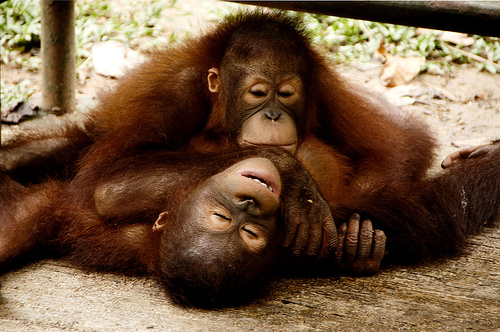 フリー画像| 動物写真| 哺乳類| 猿/サル| 子猿| オランウータン| 寝顔/寝相/寝姿|