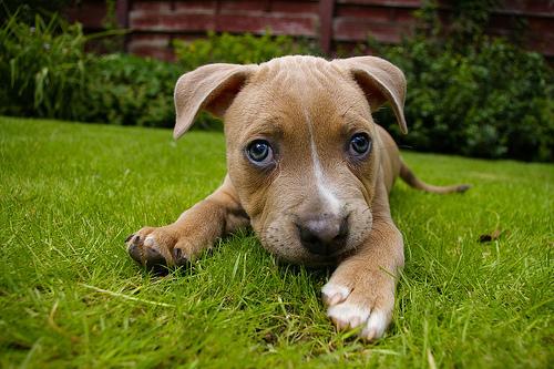 フリー画像  動物写真  哺乳類  イヌ科  犬/イヌ  子犬  ブルテリア 