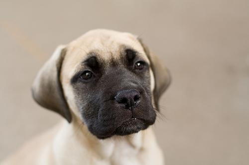 フリー画像| 動物写真| 哺乳類| イヌ科| 犬/イヌ| 子犬| イングリッシュ・マスティフ|
