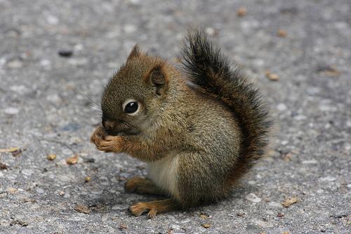 フリー画像| 動物写真| 哺乳類| リス科| 小動物| リス| 赤ちゃん/動物|