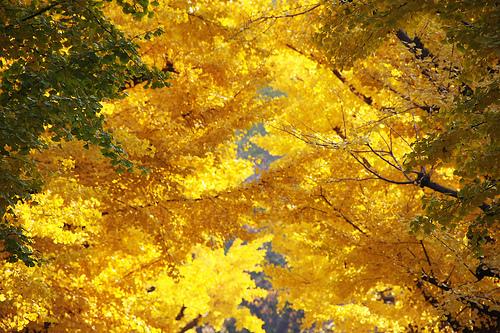 フリー画像| 自然風景| 紅葉の風景| 銀杏/イチョウ| 黄色/イエロー|