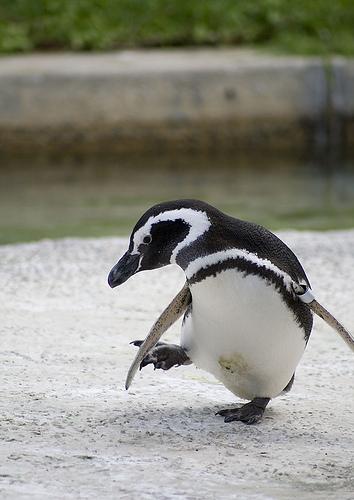 フリー画像| 動物写真| 鳥類| ペンギン| フンボルトペンギン|