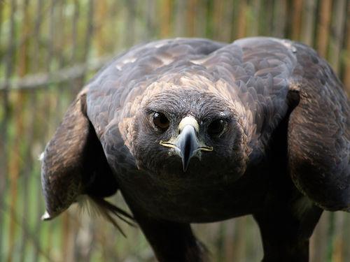 フリー画像| 動物写真| 鳥類| 猛禽類| 鷲/ワシ| ニホンイヌワシ|