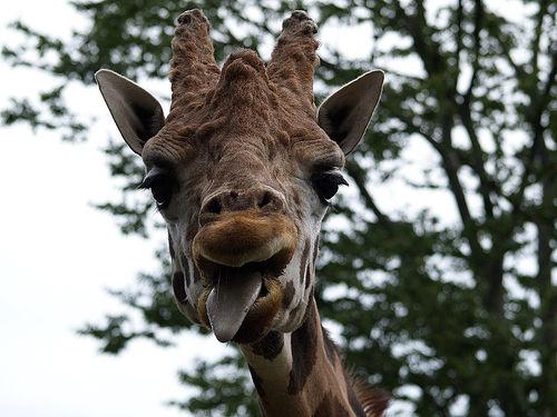 フリー画像| 動物写真| 哺乳類| キリン| あっかんべー!|