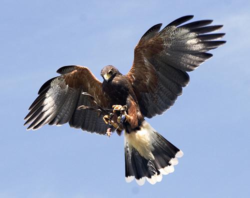 フリー画像| 動物写真| 鳥類| 猛禽類| 鷹/タカ| モモアカノスリ/ハリスホーク|