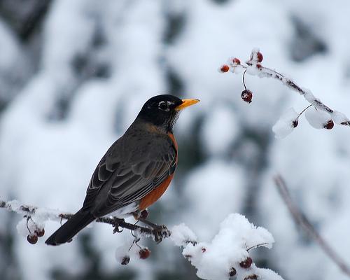 フリー画像  動物写真  鳥類  野鳥  ロビン  雪景色 