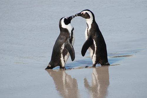 フリー画像| 動物写真| 鳥類| ペンギン| ケープペンギン| 恋人/カップル| キス/KISS|
