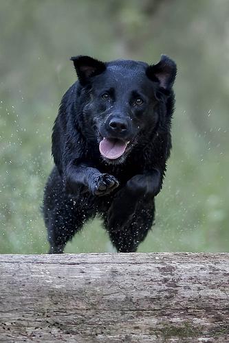 フリー画像| 動物写真| 哺乳類| イヌ科| 犬/イヌ| ラブラドール・レトリバー|