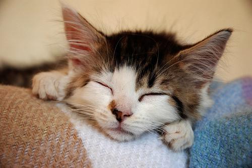 フリー画像  動物写真  哺乳類  ネコ科  猫/ネコ  子猫  寝顔/寝相/寝姿 