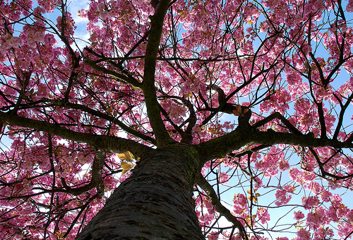 フリー画像| 花/フラワー| 桜/サクラ| 樹木の風景| 桃色/ピンク| ピンク/花|