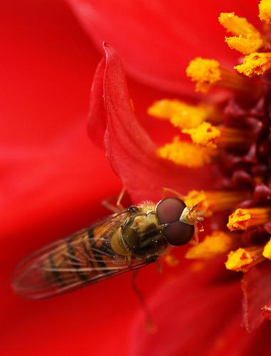 フリー画像| 節足動物| 昆虫| 虻/アブ| 花/フラワー| 赤色/レッド|