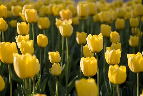 フリー画像| 花/フラワー| チューリップ| 黄色/イエロー| イエロー/花| 花畑|