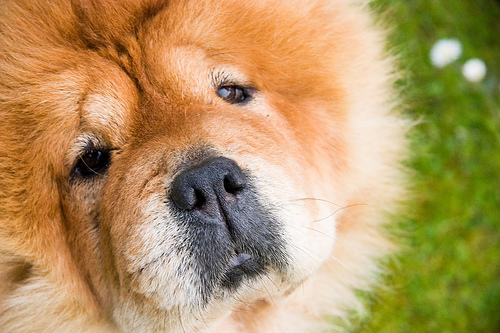 フリー画像| 動物写真| 哺乳類| イヌ科| 犬/イヌ| チャウチャウ|