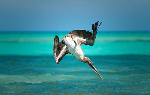 フリー画像| 動物写真| 鳥類| 野鳥| ペリカン|