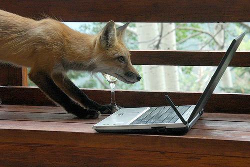 フリー画像| 動物写真| 哺乳類| イヌ科| 狐/キツネ| パソコン/PC|