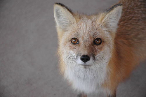 フリー画像| 動物写真| 哺乳類| イヌ科| 狐/キツネ|