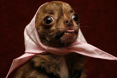 フリー画像| 動物写真| 哺乳類| イヌ科| 犬/イヌ| チワワ| あっかんべー!| スカーフ|