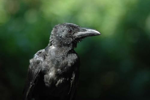 フリー画像| 動物写真| 鳥類| 野鳥| カラス|