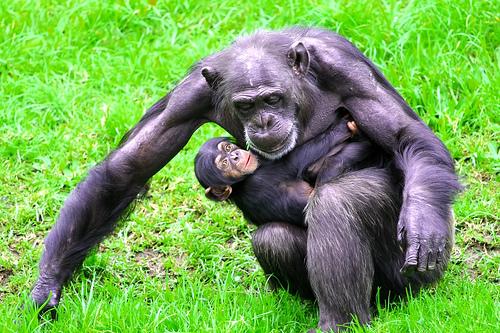 フリー画像| 動物写真| 哺乳類| 猿/サル| チンパンジー| 親子/家族| 子猿| 赤ちゃん/動物|