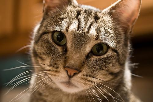 フリー画像| 動物写真| 哺乳類| ネコ科| 猫/ネコ| パソコン/PC| 睨む|