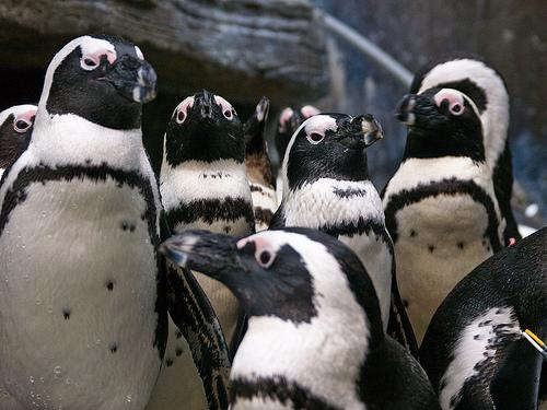 フリー画像| 動物写真| 鳥類| ペンギン|