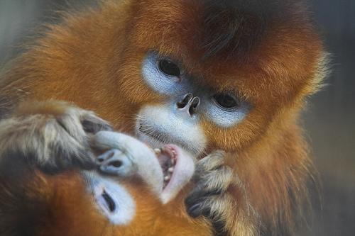 フリー画像|動物写真|哺乳類|猿/サル|キンシコウ|
