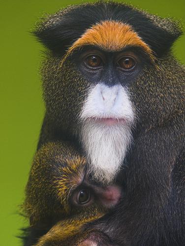 フリー画像| 動物写真| 哺乳類| 猿/サル| ブラッザグェノン| 親子/家族|