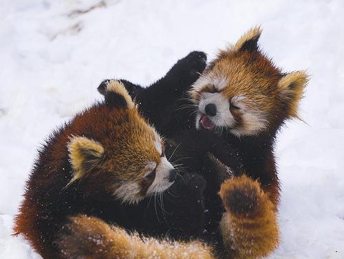 フリー画像| 動物写真| 哺乳類| レッサーパンダ | 格闘/決闘|