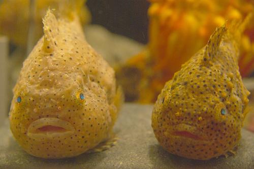 フリー画像| 動物写真| 魚類| ハリセンボン|