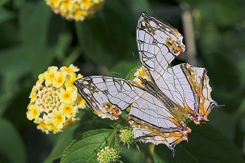 フリー画像| 節足動物| 昆虫| 蝶/チョウ| 石崖蝶/イシガキチョウ|