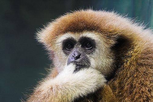 フリー画像| 動物写真| 哺乳類| 猿/サル| シロテテナガザル| 考える/悩む|
