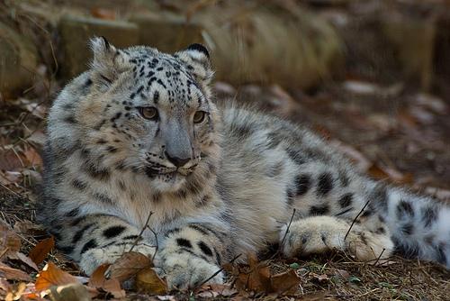 フリー画像| 動物写真| 哺乳類| ネコ科| 豹/ヒョウ| 雪豹|