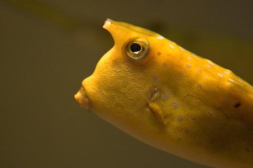 フリー画像  動物写真  魚類  河豚/フグ  コンゴウフグ 