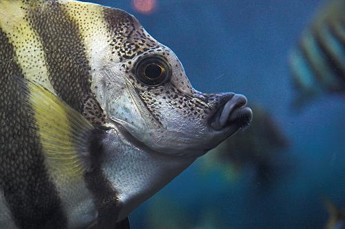 フリー画像| 動物写真| 魚類| テングダイ|