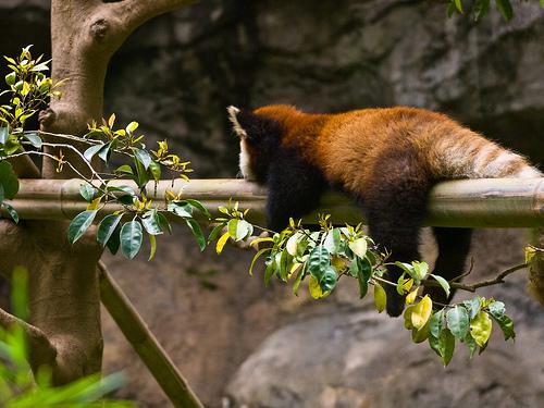 フリー画像| 動物写真| 哺乳類| レッサーパンダ| 寝顔/寝相/寝姿|