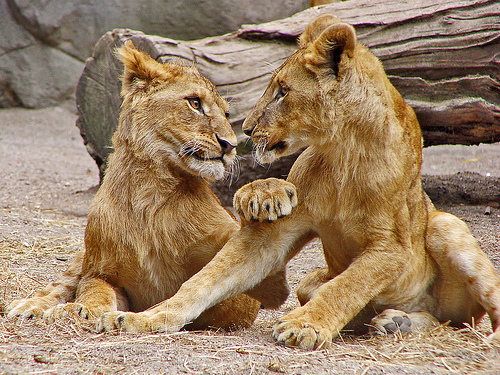 フリー画像| 動物写真| 哺乳類| ネコ科| ライオン| 兄弟/姉妹|