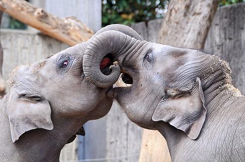 フリー画像| 動物写真| 哺乳類| 象/ゾウ| キス/KISS|